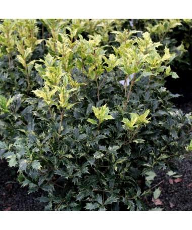 """Osmanthus heterophyllus """"Tricolor"""""""